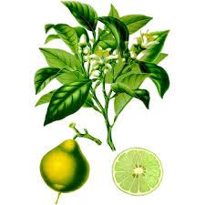 Huile essentielle Bergamote Bio (Citrus bergamia) - ABC de la Nature